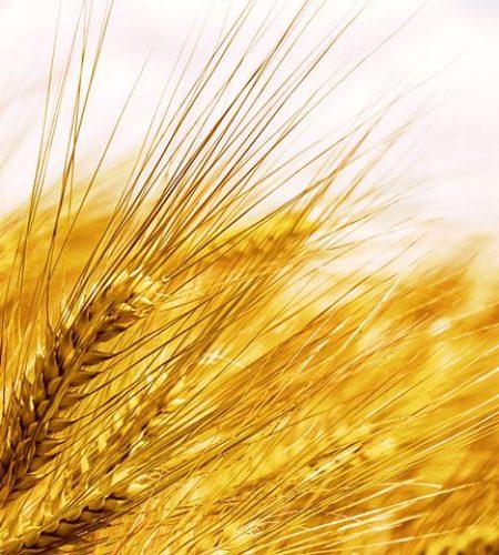 barley-5233734__480